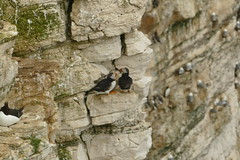 Puffins, RSPB Bempton Cliffs Seabird Centre