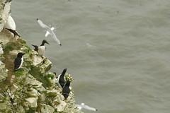 Razorbills, Guillemot and Kittiwake, RSPB Bempton Cliffs Seabird Centre