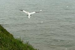 Gannet, RSPB Bempton Cliffs Seabird Centre