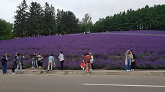Lavender farm, Furano, Japan