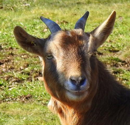 Cabra - Ziege