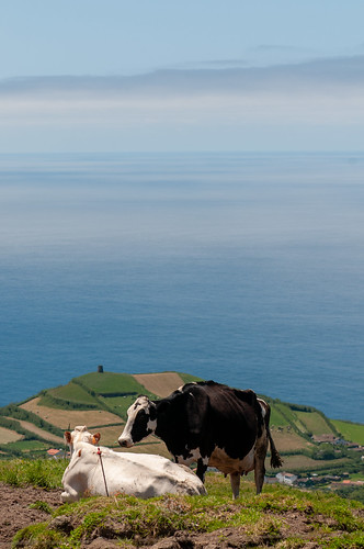Cows & the Atlantic Ocean