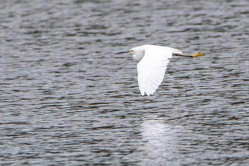 Garcita blanca - Snowy egret