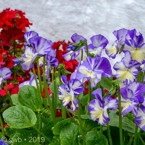 Pansies at Avoca Ireland.