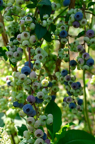 Blueberries #2