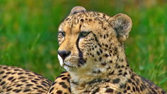 Cheetah - Photo of Mortcerf