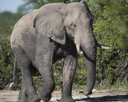 African elephant, Loxodonta africana, Hwange National Park, Zimbabwe