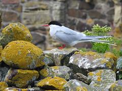 Arctic Tern DSCN0697