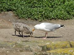 Herring gulls- stolen feed DSCN0661