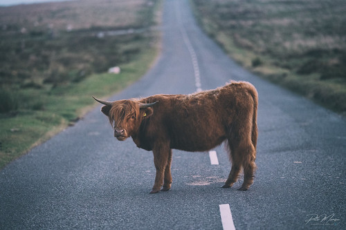 Highland Cattle - Dartmoor