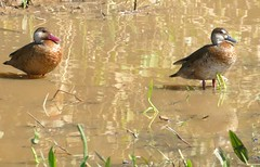 Brazilian Teals (Amazonetta brasiliensis) male (left) and female ...