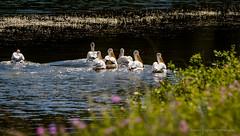 Pelicans of Elkwater