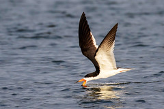 Black Skimmer Skimming at Sunset