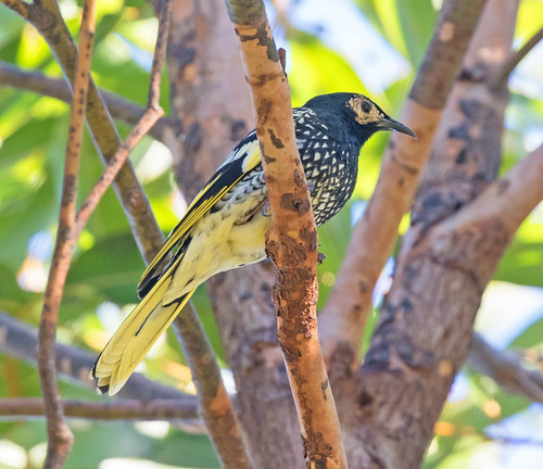 The critically endangered Regent Honeyeater pausing briefly in it's search for food.