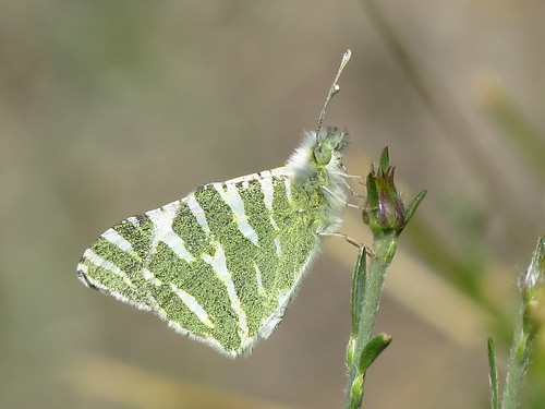 Euchloe belemia (Green Striped White)