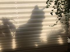 Cat Behind a Shade