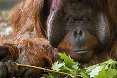 Portrait of an Orang-utan