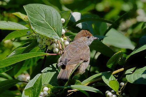 Славка-черноголовка, Sylvia atricapilla atricapilla, Blackcap