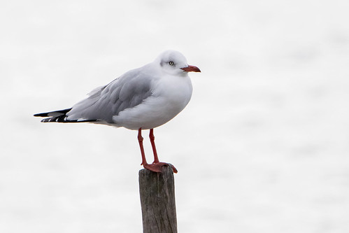 Gaviota capucho gris - Gray-hooded gull