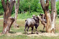 ZOO Lešná - Bactrian Camel (Camelus bactrianus)