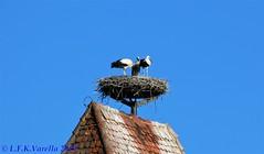 Cegonhas de Rothenburg ob der Tauber