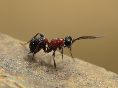 Thaumatogelis sp. (Ichneumonidae)