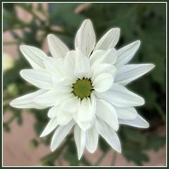 Mum Fibonacci 34 petals Macro Monday