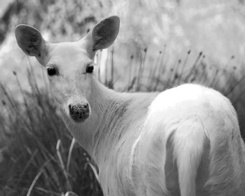 White Deer BW 1