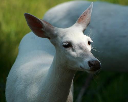 White Deer 15