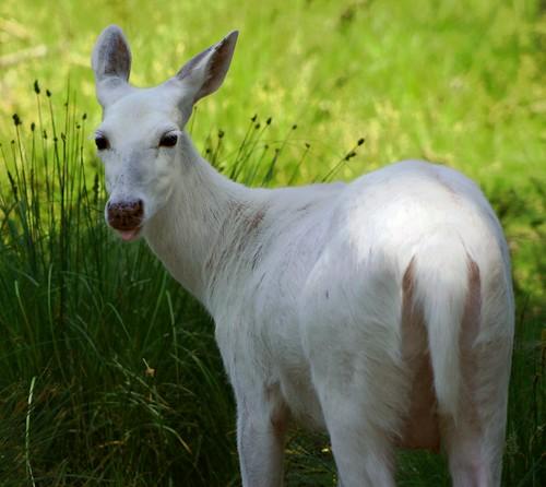 White Deer Tongue 1