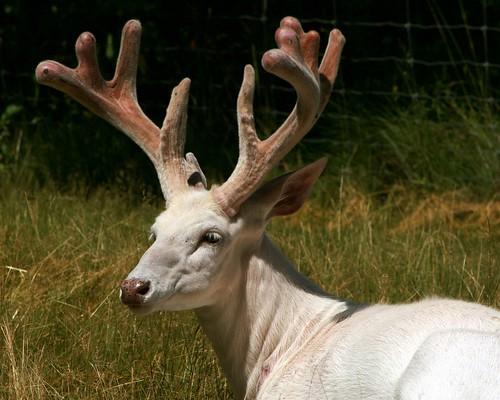 White Deer 17