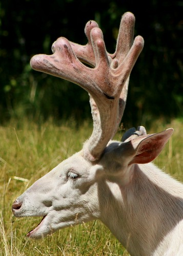 White Deer 16