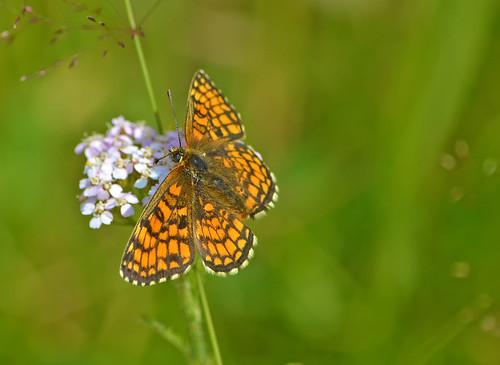 Chasing butterflies... ;-)  Heath fritillary. (Episode 1)