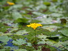 Photo:Nymphoides peltata (yellow floating heart,  アサザ) flower By Greg Peterson in Japan