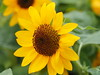 Photo:Small sunflowers By Greg Peterson in Japan