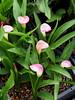 Photo:Zantedeschia (カラー) 'Garnet Glow' flowers By Greg Peterson in Japan