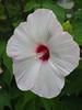 Photo:White Hibiscus 'Titanbicus' flowers By Greg Peterson in Japan