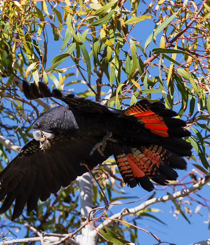 Red Tailed Black Cockatoo-3