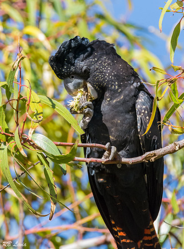Red Tailed Black Cockatoo-4