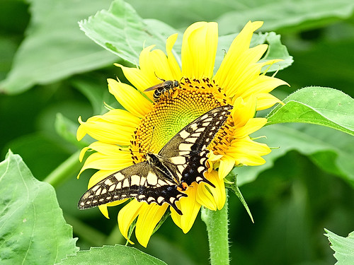 Sunflowers can be seen in the summer.