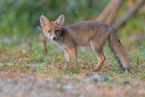 an adorable puppy / Red fox