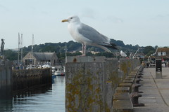 West Bay Seagull