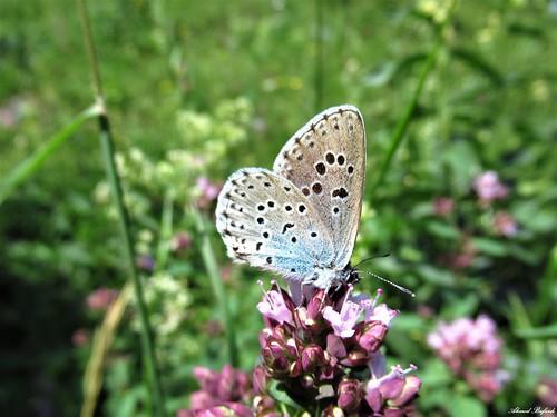 Butterfly 1813