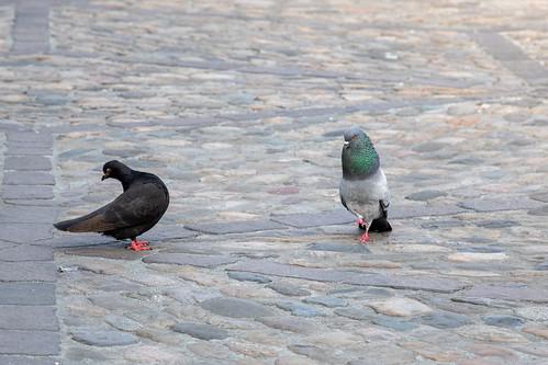 Tango pigeons