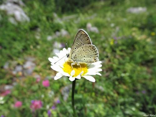Butterfly 1812