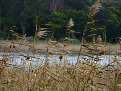 Reeds blowing in the wind Tower Hill July 2019