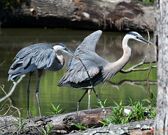 Great Blue Heron Courtship Display with Stick for Nest (Ardea herodias) (DMSB0164)