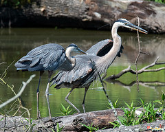 Great Blue Heron Courtship Display with Stick for Nest (Ardea herodias) (DMSB0163)