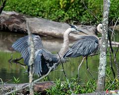 Great Blue Heron Courtship Display (Ardea herodias) (DMSB0161)