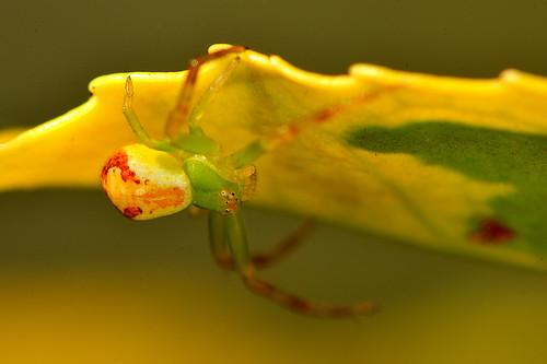 Thomise tricolore - Diaea dorsata -